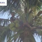Ngẫm về một lần làm khỉ hái dừa Phan Thiết