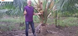 Vườn dừa lùn Thái Lan của tôi đang mùa trổ bông kết trái!